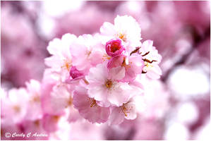 Cherry Blossoms by CecilyAndreuArtwork