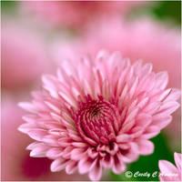 Chrysanthemum II by CecilyAndreuArtwork