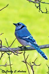 Blue Jay by CecilyAndreuArtwork