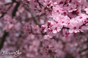 Blossom by leric