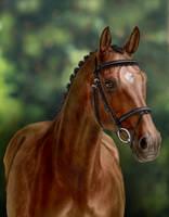 Bay Oldenburger horse by Koekeldoedeltje