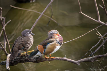 Mandarin Ducks by Dragos06
