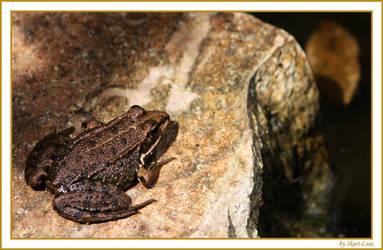 Frog by ikari-luis