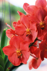 Red Orchid by yogadeagar