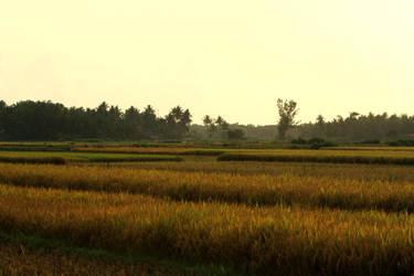 Ricefield-Sawah by yogadeagar