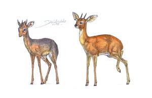 Kirk's dik-dik and Steenbok by Gredinia