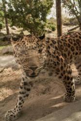 Amur Leopard by PhantomSephiroth