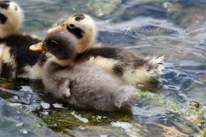Day Ten: Ducklings by teasaftertaste