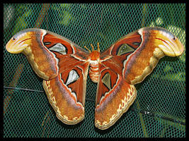 Atlas Moth by DeadlyDonna