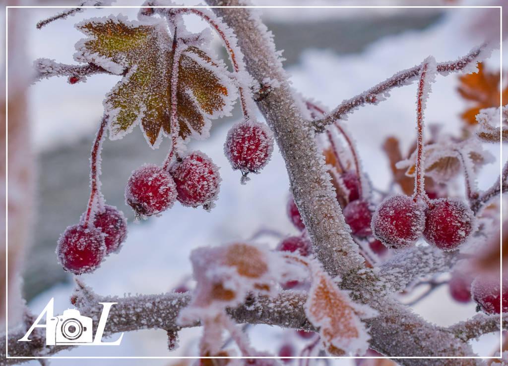 Hawthorn berries by LaskaAlen