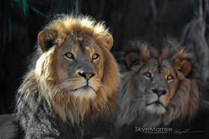 Lion_9988 by SkyeMarree