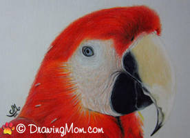 Drawing of Scarlet Macaw by DrawingMom