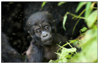 Baby Gorilla by Studio5