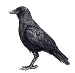 Claudia the Crow by peet