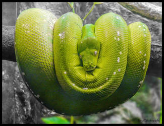 THE GREEN TREE PYTHON by IME54-ART