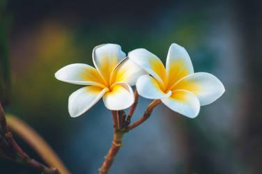 Frangipani flowers by Zelma1