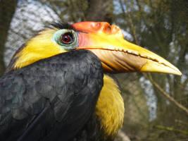 Ouwehands: Wrinkled hornbill by SSJGarfield