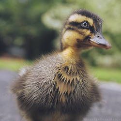 Duckling by MonsterBrand