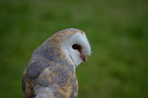BARN OWL by major-holdups