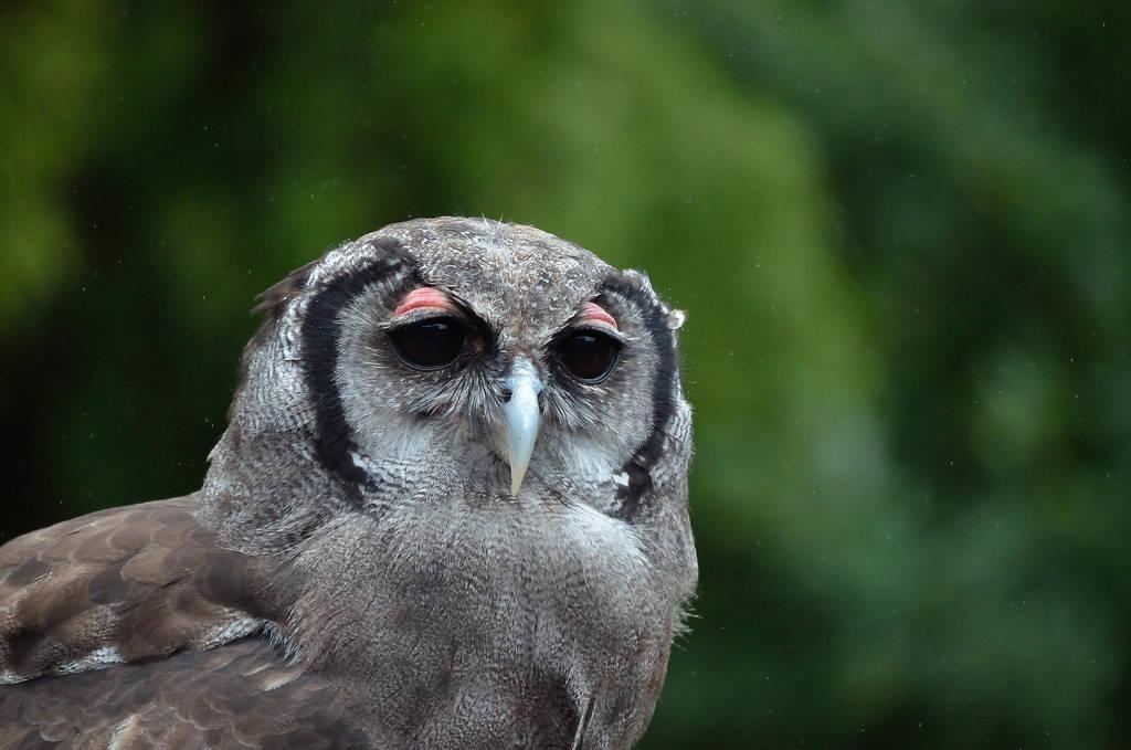TAWNY OWL by major-holdups
