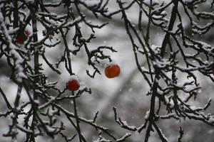 Aepfel im Schnee by corvintaurus