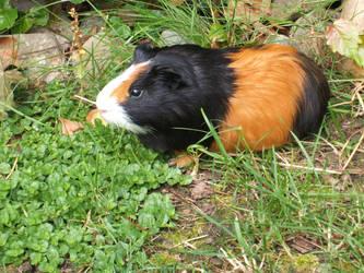 My Guinea Pig by charmedGilmoregirl