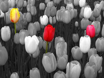 B and W Bed of Tulips by serene1980