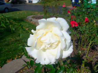 White Rose~ by Naruko1222