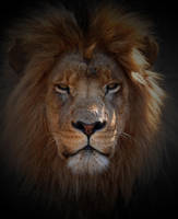 African Lion Stare by TeFoPhotography