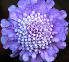 Purple Scabiosa by TeFoPhotography