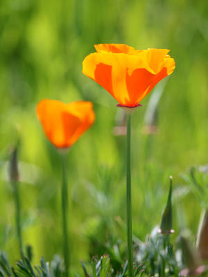 California Poppy by DaisyDinkle