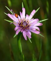 Ladybug on Purple Salsify by DaisyDinkle