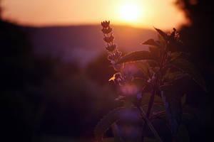 Honeybee in Sunset by ElyneNoir
