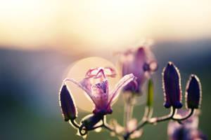 71 - Sunset Lily by ElyneNoir