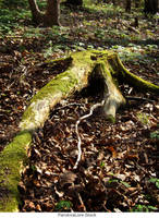 Tree Stump 33 by AnitaJoy-Stock