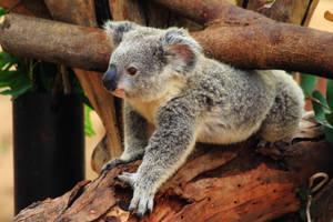 Limbo Koala is Cheating! by Celem