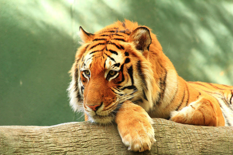Stock: Bored Tiger by Celem