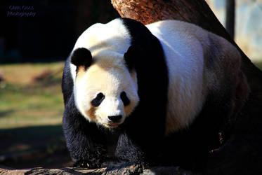 Stock: Panda by Celem