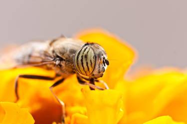 Yellow Fly by Shazy8