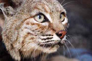 Intent Eyes- Version Bobcat by decideroffate