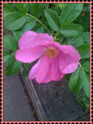 Stamp Rose by blackroselover