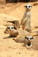 Meerkats by sacadura
