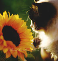 Sunflower by Iamo