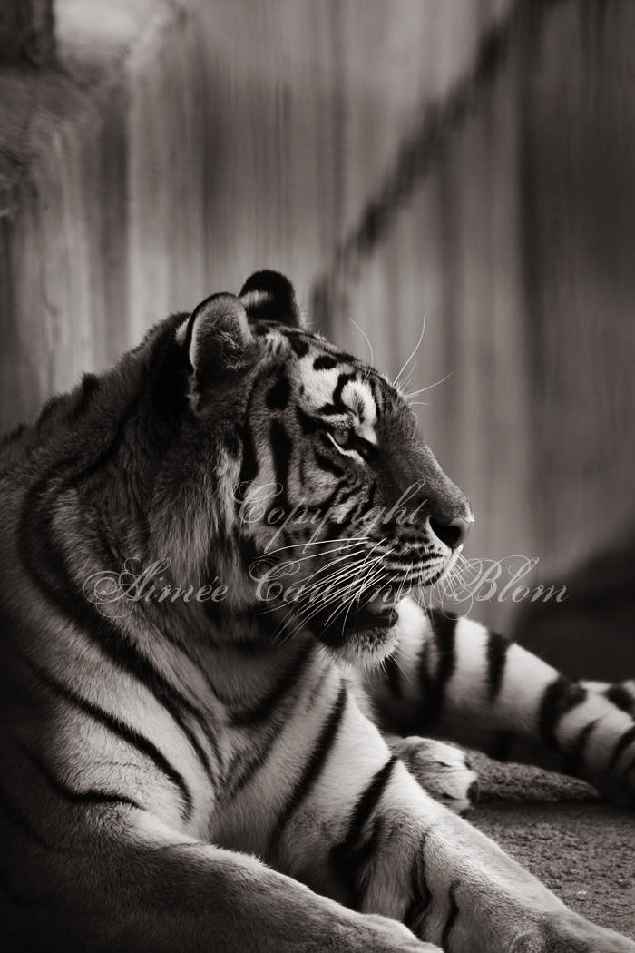 Tiger by Iamo