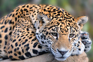 Jaguar Cub 7053 by mgroberts