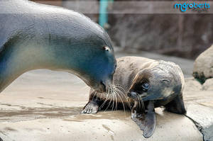Baby Sea Lion 8221 by mgroberts