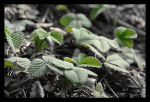 Strawberry Leaves by Cavin