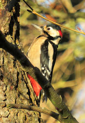 Great Spotted Woodpecker by delph-ambi