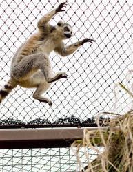 lemur 2 by LonelyHashiriya
