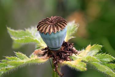 Poppy Seed Pod by Tinap
